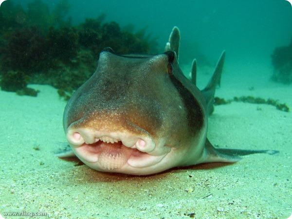 Австралийская бычья акула (лат. Heterodontus portusjacksoni)