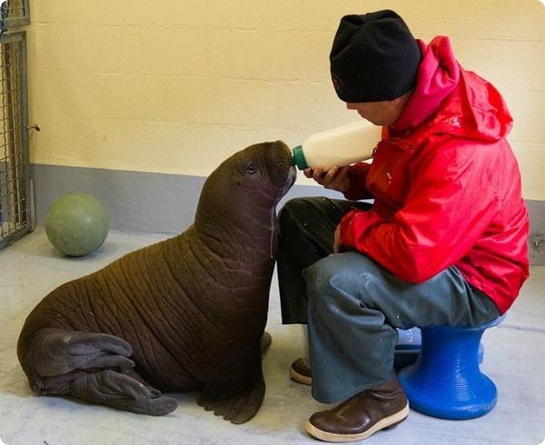 В аляскинском центре выхаживают детеныша моржа