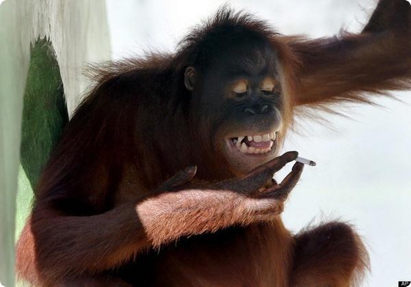 Самка орангутанга из индонезийского зоопарка бросает курить