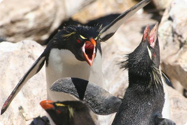 Золотоволосый пингвин (лат. Eudyptes chrysolophus)