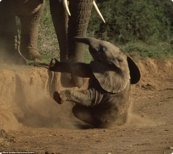Как мама-слониха помогла своему малышу