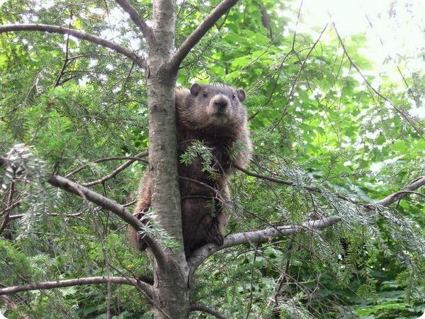 Лесной сурок (лат. Marmota monax)