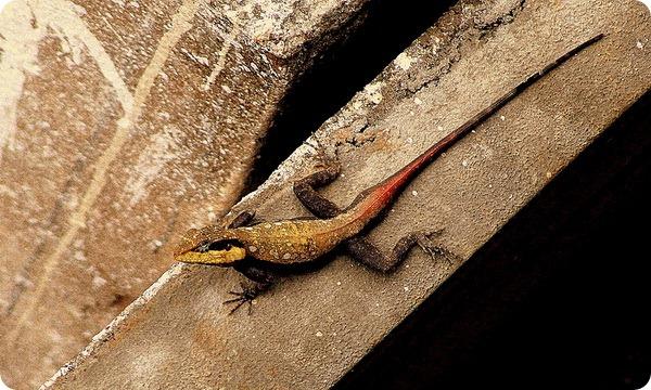 Индийская горная агама (лат. Psammophilus dorsalis)