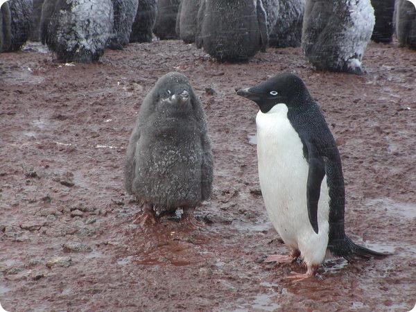 Пингвины Адели (лат. Pygoscelis adeliae)