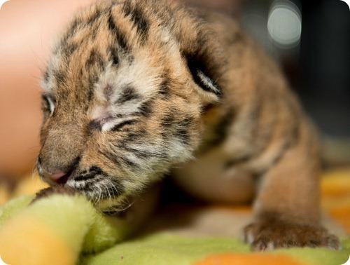 Амурские тигрята из Огайо