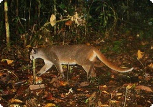 Калимантанская кошка (лат. Pardofelis badia)