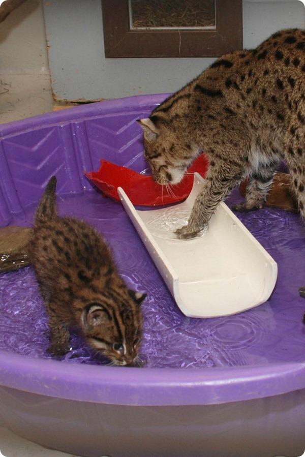 Котята-рыболовы из Вашингтона