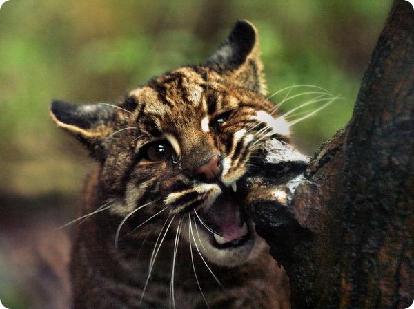 Азиатская золотистая кошка или кошка Темминка (лат. Catopuma temmincki)