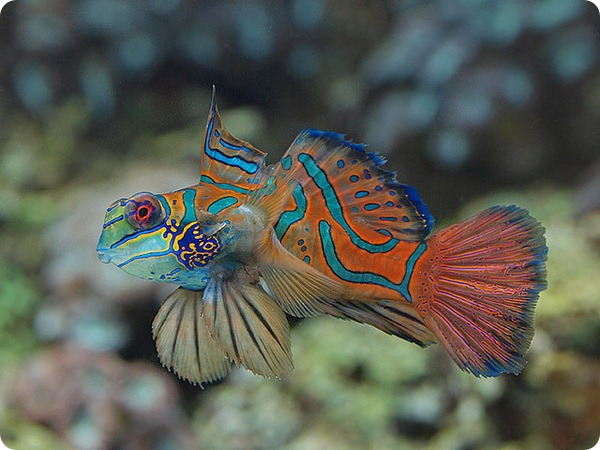 Мандаринка рыба (лат. Synchiropus splendidus)