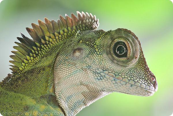 Гоноцефал большой (лат. Gonocephalus grandis)