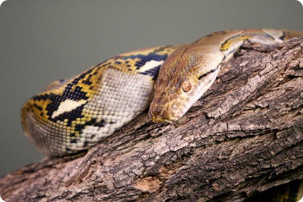 Сетчатый питон (лат. Broghammerus reticulatus)