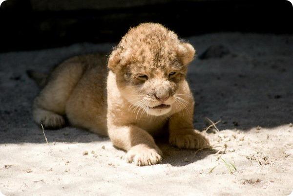 Долгожданный львенок из Флориды