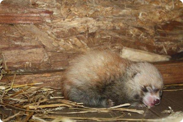 Малая панда из Висконсина