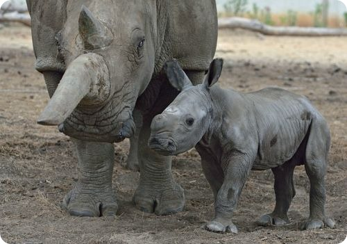 Белый носорог из Тель-Авива