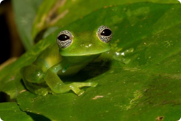 Гекконовая лягушка Centrolene ilex