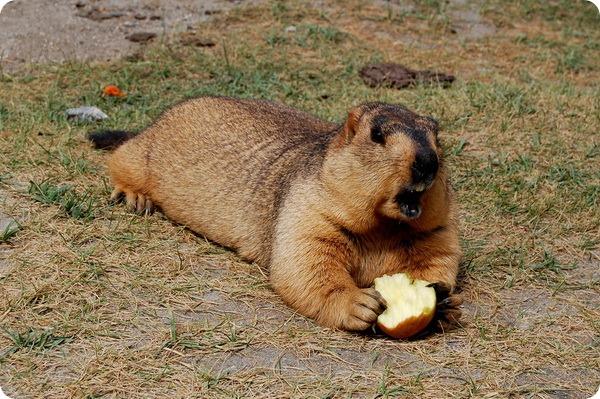 Гималайский сурок (лат. Marmota himalayana)
