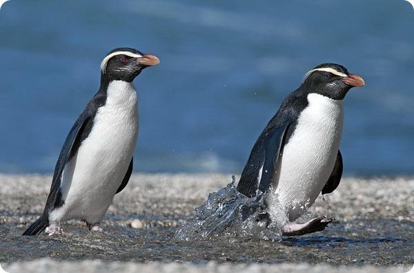 Толстоклювый пингвин или пингвин Виктории (лат. Eudyptes pachyrhynchus)