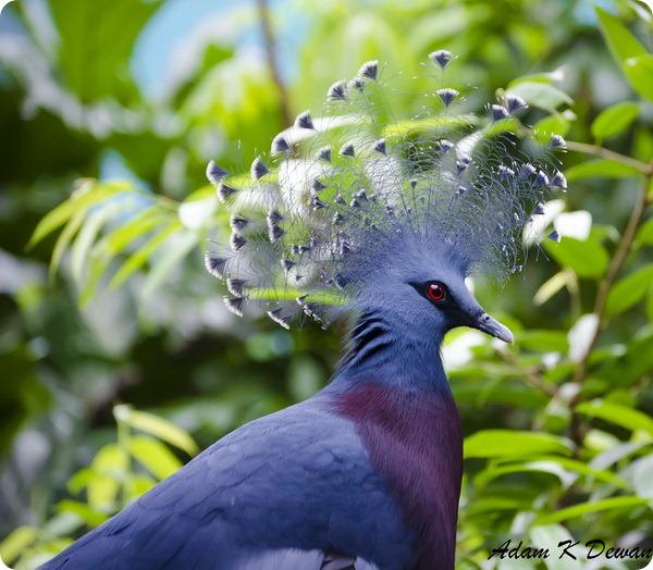 Веероносный венценосный голубь (лат. Goura victoria)