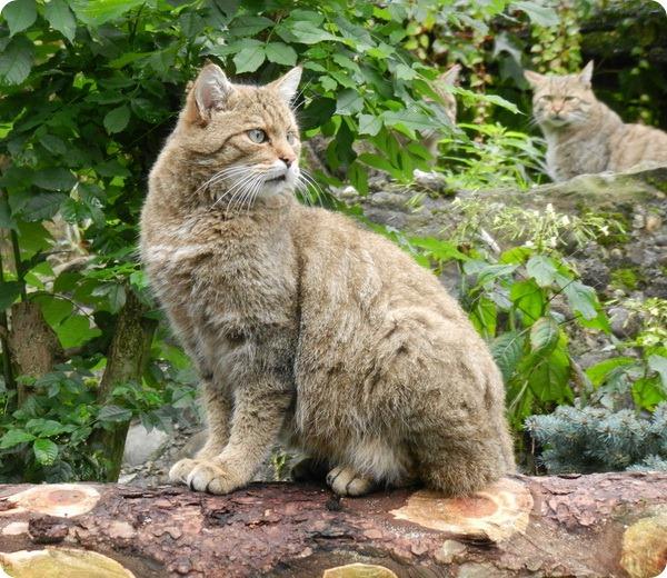 Лесная кошка (Felis silvestris)