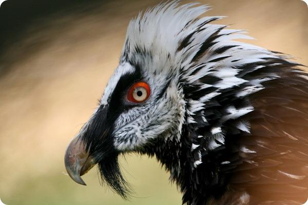 Бородач или ягнятник (лат. Gypaetus barbatus)