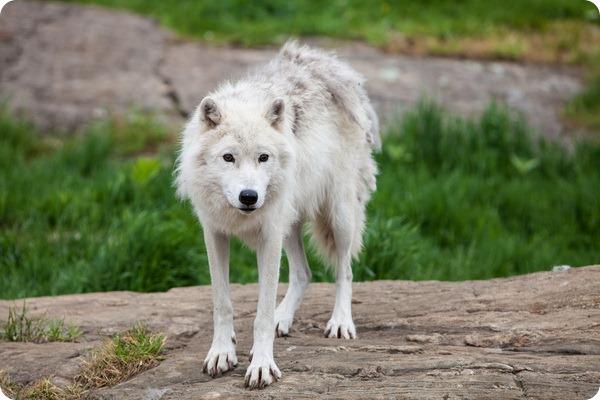 Мелвильский островной или арктический волк (лат. Canis lupus arctos)