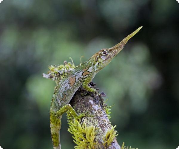 Рогатый анолис (лат. Anolis proboscis)