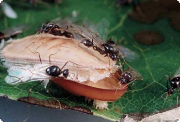 Гусеница-бронепоезд Liphyra brassolis