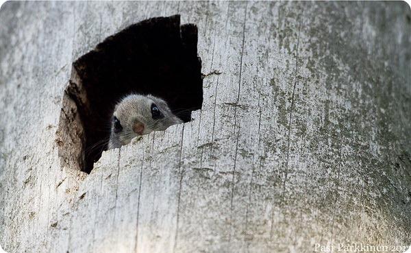 Обыкновенная летяга (лат. Pteromys volans)