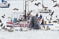 Горбатые киты у калифорнийского побережья!