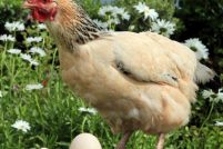 Курица снесла огромное яйцо!