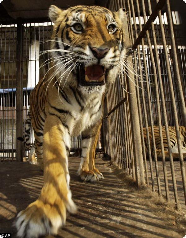 Хищникам пришлось просидеть в своих клетках два месяца