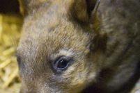 В зоопарке Taronga Zoo родился детёныш вомбата