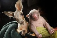 Вомбат и кенгурёнок – лучше друзья!