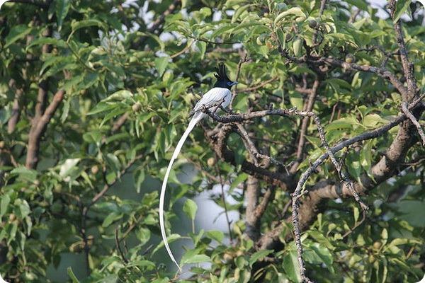 Райская мухоловка (лат. Terpsiphone paradisi)