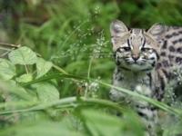 Детёныш тигровой кошки из Zoo Mulhouse