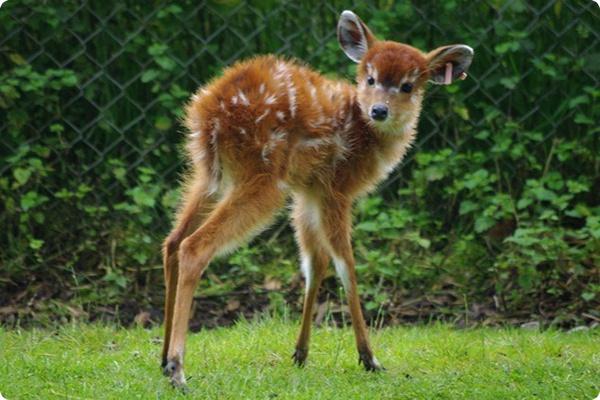 Малышка антилопа ситатунга - Хлоя