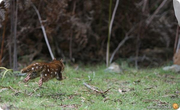 Пятнистохвостая сумчатая куница (лат. Dasyurus maculatus)
