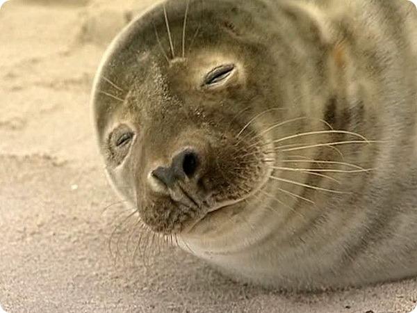 Тюлененок облюбовал место на пляже возле людей