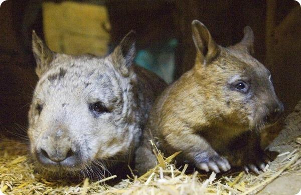 В австралийском зоопарке Taronga Zoo родился детёныш вомбата