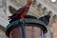 Необычные голуби Венеции