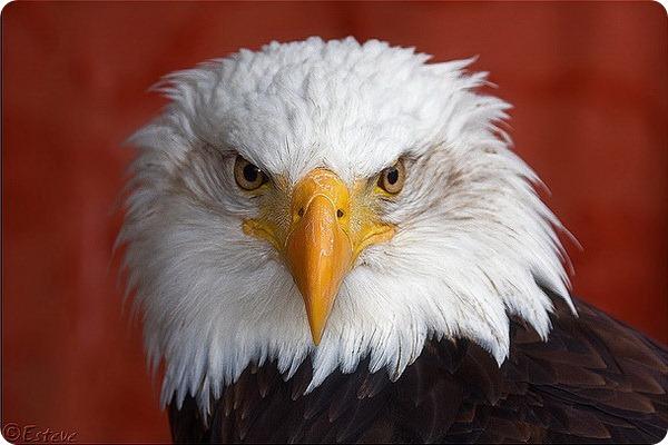 Белоголовый орлан (лат. Haliaeetus leucocephalus)