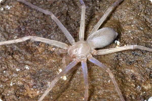 Sinopoda scurion – первый в мире слепой паук