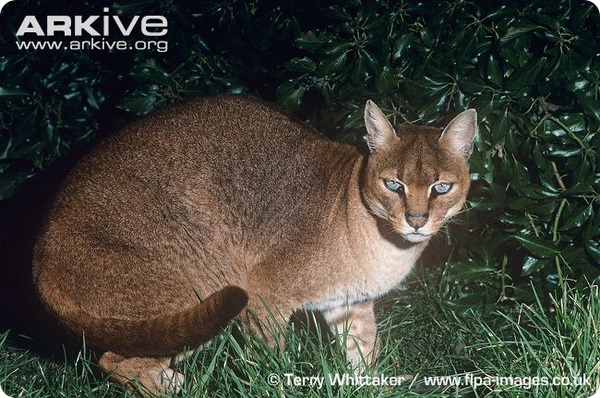 Золотая кошка ( лат. Profelis aurata)