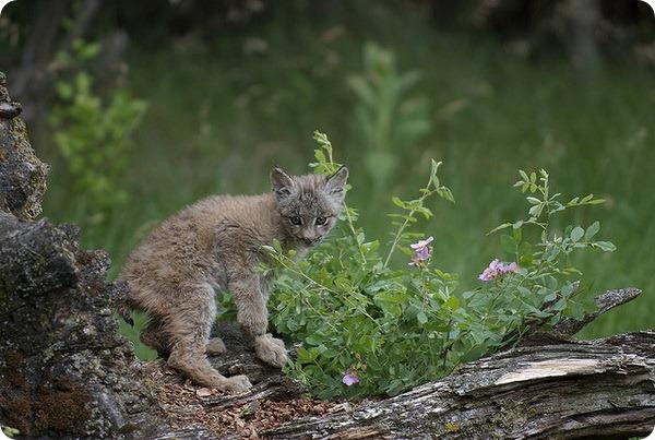 Канадская рысь (лат. Lynx canadensis)