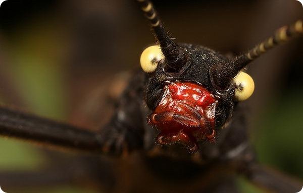Кордильерский палочник (лат. Peruphasma schultei)