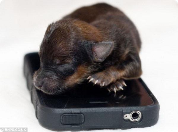 В Великобритании родился щенок размером с iPhone