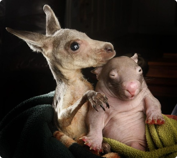Вомбат и кенгурёнок