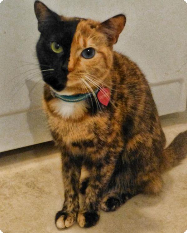 Двуликая кошка по кличке Венера