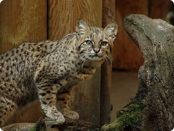 Кошка Жоффруа (Leopardus geoffroyi)