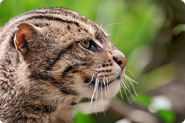Кошка-рыболов (лат. Prionailurus viverrinus)